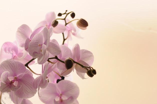 밝은 배경에 백색 난초의 근접입니다. 호 접 난초 고립 된 줄무늬. 흰색 배경에 냄비에 분홍색 난초입니다. 사랑과 아름다움의 이미지. 자연 배경 및 디자인 요소입니다.