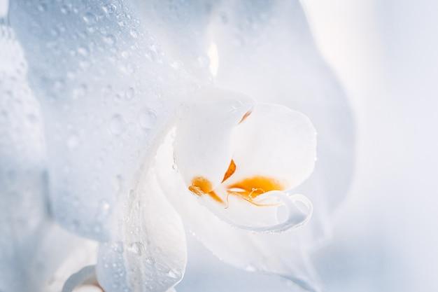 Закройте вверх белого фаленопсиса или дендробиума моли орхидея цветок тропический цветочный фон природы. выборочный фокус.