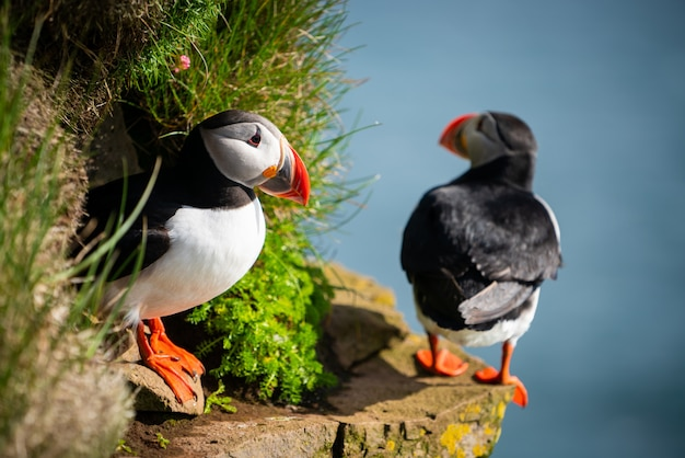 野生のauk puffin海鳥のクローズアップ