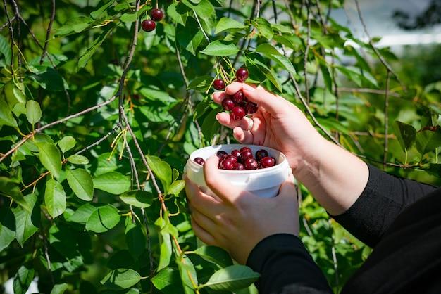 Крупным планом женские руки собирают спелые вишни на ветке дерева