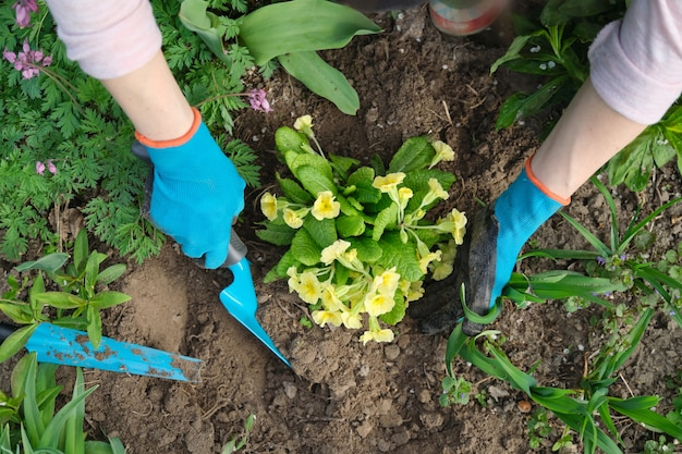 Крупным планом женские руки сажают желтые цветы примулы в саду