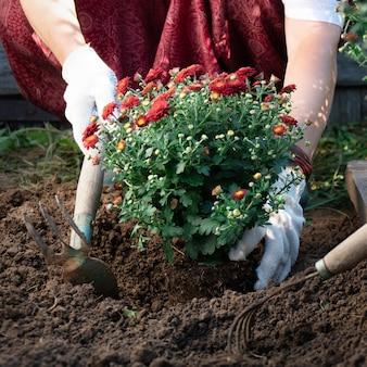 Закройте руки женщины, засаживая красные цветы хризантемы в саду весной или летом. садоводство и садоводство