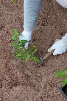 Крупным планом женские руки сажают помидоры в теплице