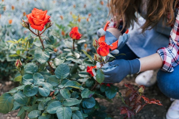 Secateursと植物のバラをトリミングの女性のクローズアップ