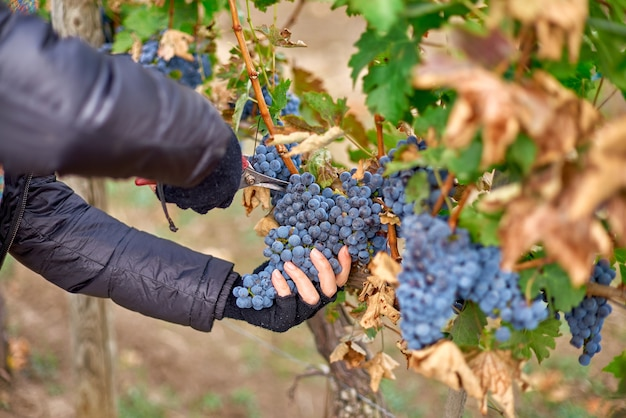 モルドバのブドウ園でのワインの収穫中にブドウの木から赤いブドウを切る労働者の手のクローズアップ。