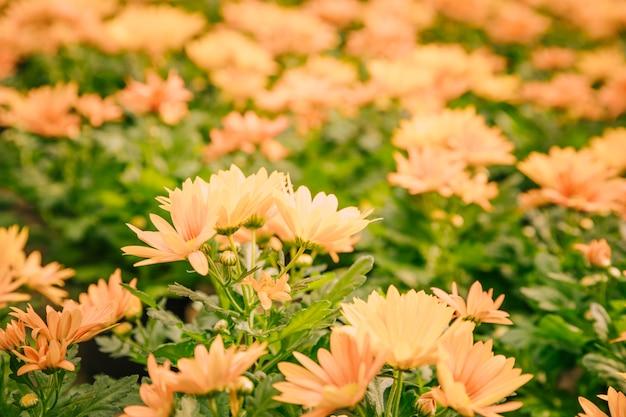 꽃에 노란 국화 꽃의 근접 촬영