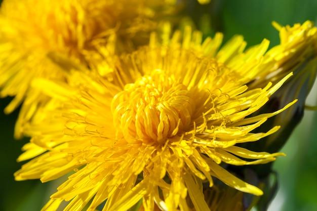 Крупный план желтых одуванчиков весной, малая глубина резкости