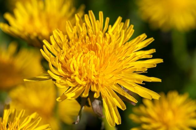 春の黄色いタンポポのクローズアップ、浅い被写界深度