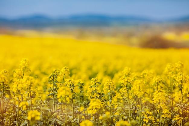黄色い開花ナタネのクローズアップ