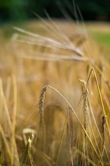 黄色い穀物のローフードの自然の生物学的分野と植物のクローズアップ-農業と健康的な栄養の概念