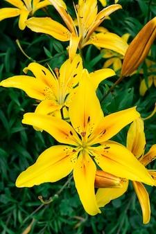 黄色いユリの花のクローズアップ。ヘメロカリスはレモンリリー、イエローデイリリー、ヘメロカリスフラバとも呼ばれます。リリウムパーリィとして知られる黄色いユリの花、美しい。閉じる。上面図。