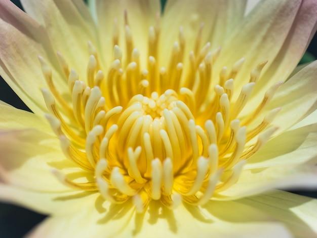 黄色い蓮の花のクローズアップ。