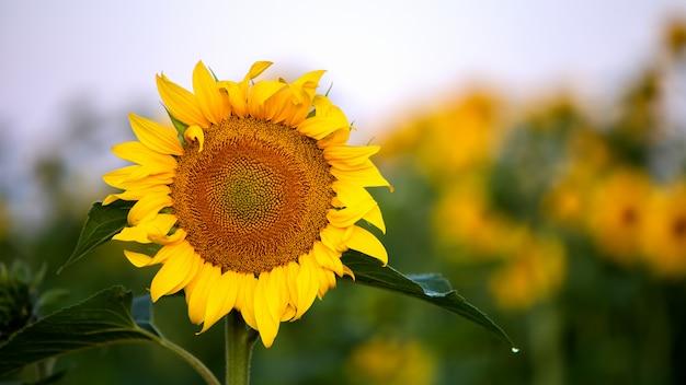 緑の夏の畑で黄色いヒマワリのクローズアップ。