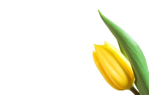 Крупным планом желтый тюльпан