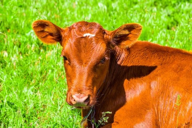 かわいい牛の茶色の牛の周りを見て芝生のフィールドで横になっている若い子牛のクローズアップ