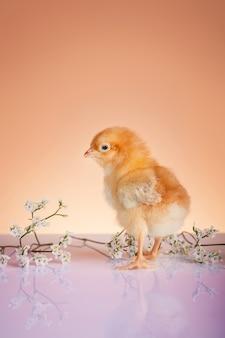 봄 날에 젊은 닭의 클로즈업