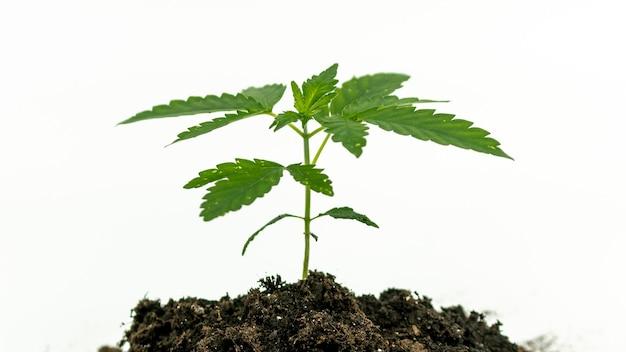 Крупный план молодых растений медицинской марихуаны, растущих в почве, на белом
