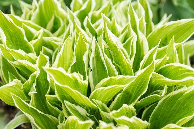 Закройте вверх молодых листьев весны завода хосты. зеленая листва.
