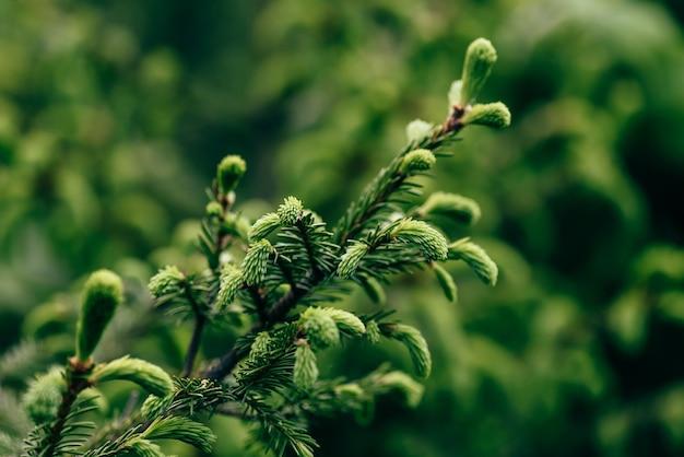 松の木の若い小枝のクローズアップ