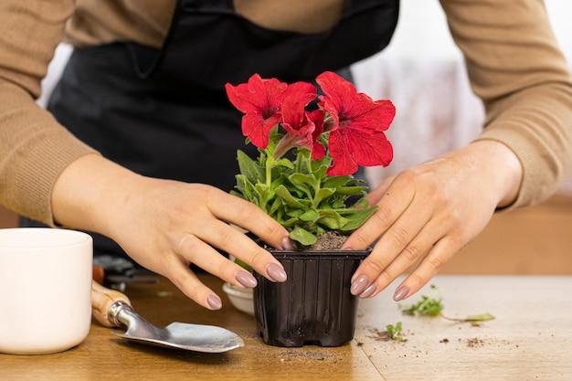 苗ポットにペチュニアの花を植える若い女性の手のクローズアップ