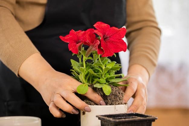 屋内の白い鍋にペチュニアの花を植える若い女性の手のクローズアップ