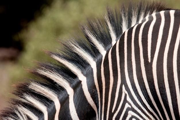 Крупный план полос зебры