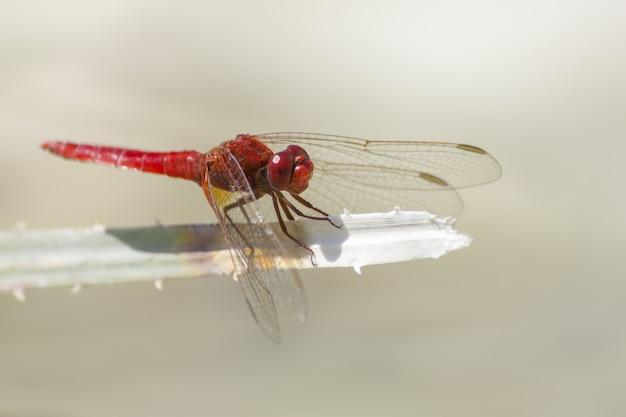 Красная стрекоза крупным планом