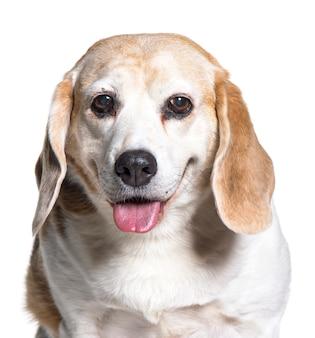 Close-up of a old beagle dog panting