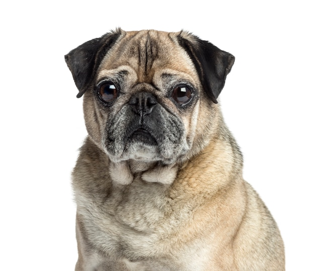 Close-up of an old pug, isolated on white