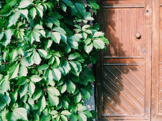 Close-up of an old vintage wooden door bisected by hanging branches of leaves
