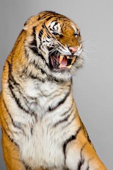 Конец-вверх на изолированном рычании тигра.