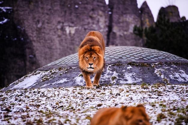 Крупным планом на африканского льва-самца в неволе