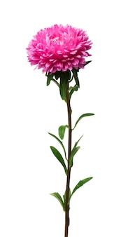 分離されたアスター植物にクローズアップ