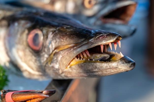 Закройте зубы барракуды. барракуда свежей рыбы моря на рынке уличной еды в таиланде. концепция морепродуктов. сырая барракуда для приготовления