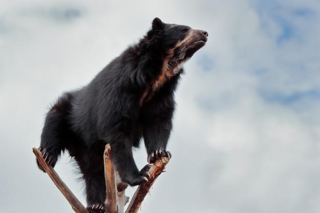 枝に登ったクマにクローズアップ