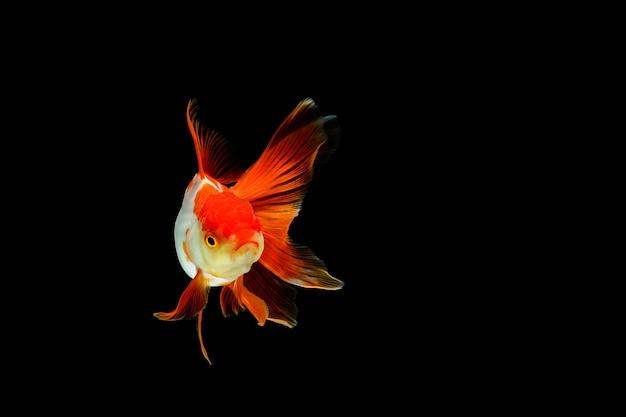 分離された美しいエレガントな金魚のクローズアップ