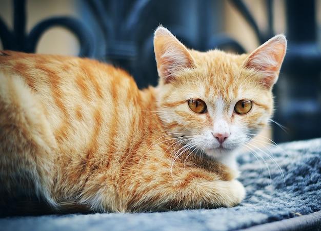 ソファーで横になっている美しい猫にクローズアップ