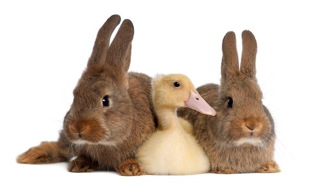 Крупным планом на красивых кроликов с изолированной уткой