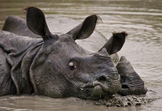Крупным планом на красивых носорогов в природе
