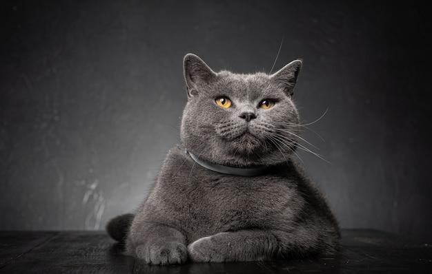 美しい若い肉付きの良い猫にクローズアップ
