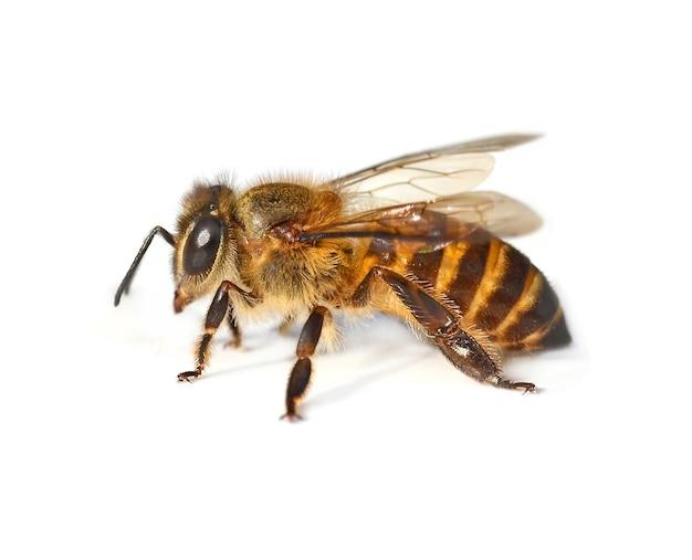 Крупным планом на детали насекомых пчелы изолированы
