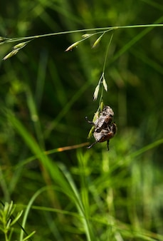 Заделывают жуков, спаривающихся на ветке травы