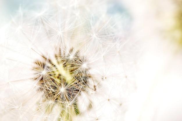 Закройте на цветущих пушистых цветках одуванчиков с солнечным светом.