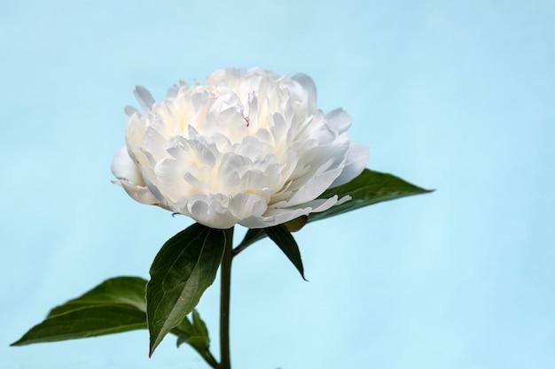 Крупным планом на цветущий цветок пиона