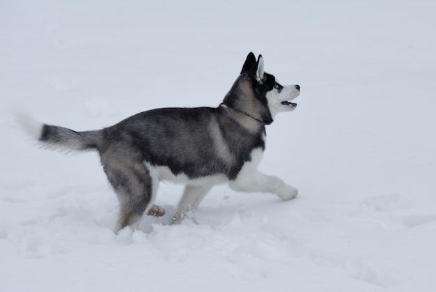Крупным планом на голубые глаза красивой хаски. сибирский хаски собака на открытом воздухе. портрет сибирской лайки в природе в зимнем времени.