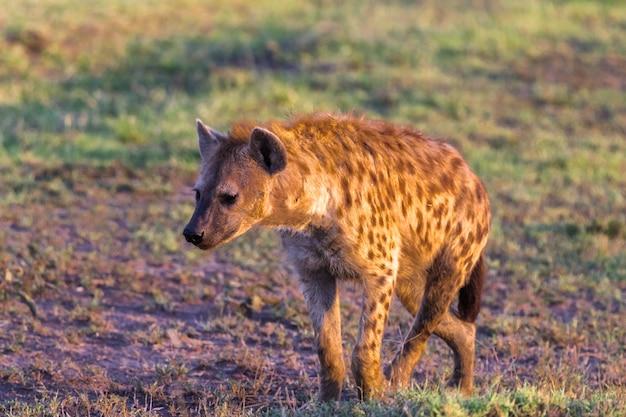 Крупным планом коричневая гиена в поисках добычи