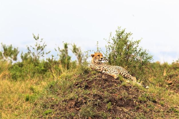 Крупным планом гепард отдыхает на холме