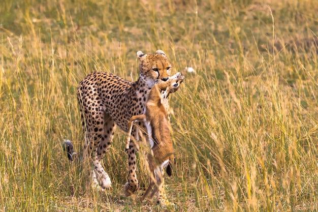 Крупным планом гепард с добычей победитель импала