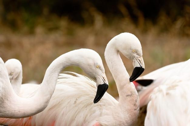 Крупным планом на чилийских фламинго в природе