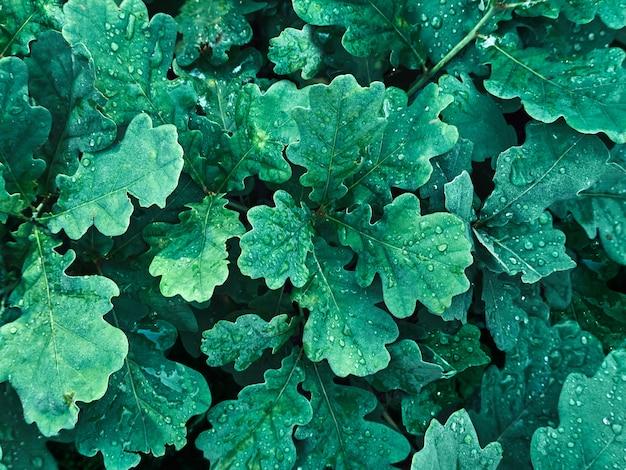Крупным планом на красочные зеленые дубовые листья